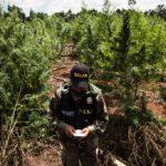 Um oficial da agência antidrogas do Paraguai em uma fazenda de maconha. Gangues violentas do vizinho Brasil estão estabelecendo uma posição mais permanente no comércio de drogas do país.CreditCreditSanti Carneri